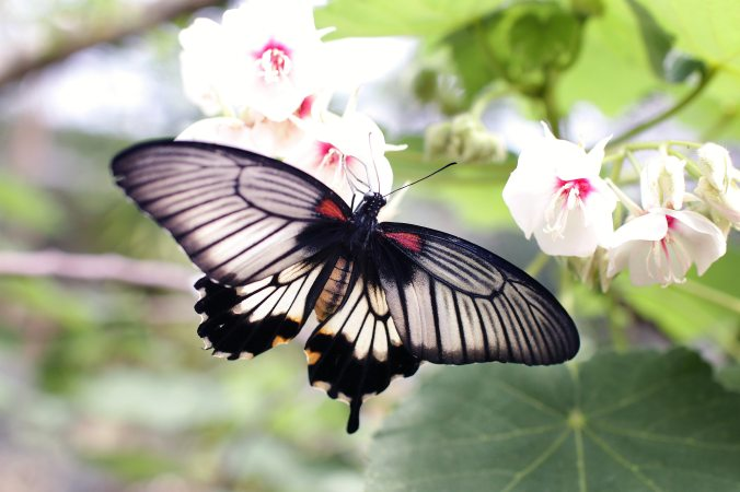 gray-and-black-butterfly-sniffing-white-flower-91946